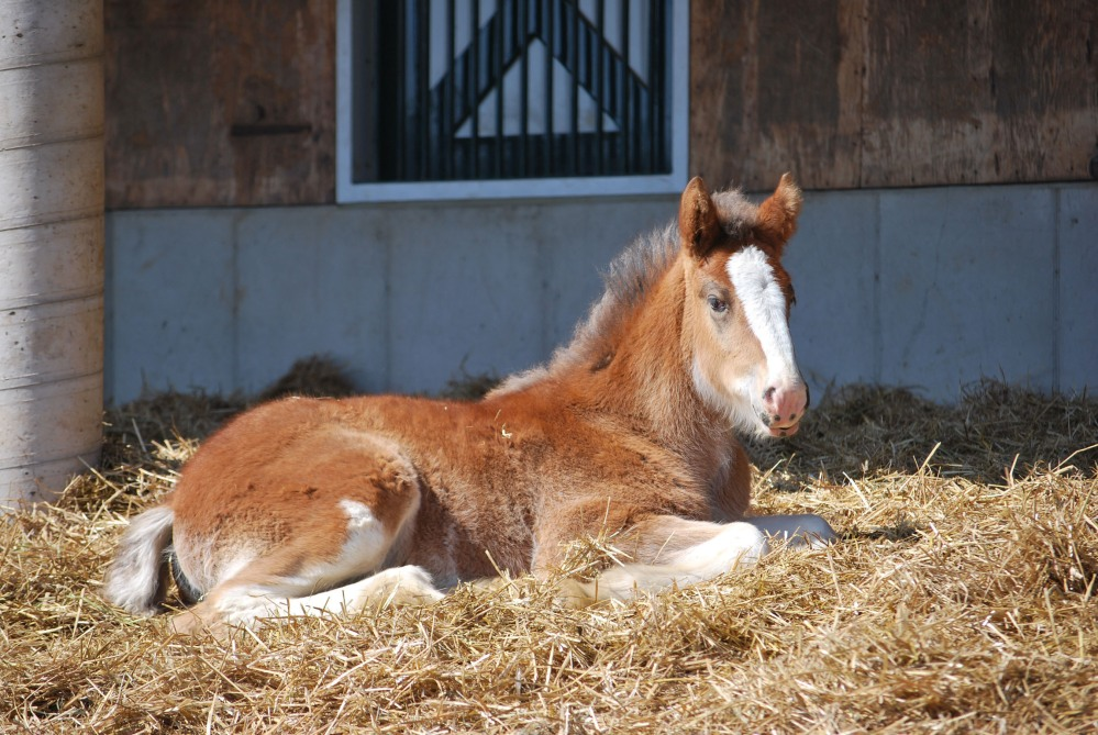 ANHEUSER-BUSCH BABY CLYDESDALE HOPE