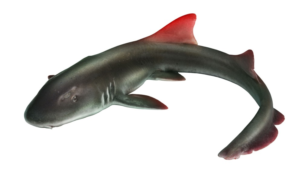 REDFIN CORPORATION REDFIN SHARK